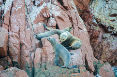 Fur seals (sea lions) sunbathing on the Ballestas Islands red cliffs, in Peru Royalty Free Stock Photos