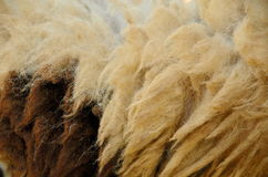 Fur of sheep Royalty Free Stock Image