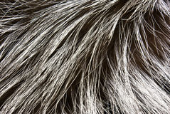 Fur of a silver fox Stock Photo