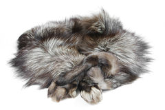 Fur silver fox with arms Royalty Free Stock Photos