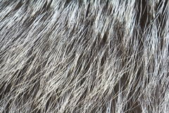 Fur of silver fox Stock Images