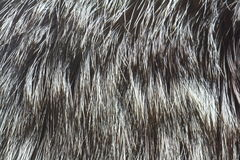 Fur of silver fox Royalty Free Stock Photo
