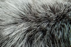 Fur silver fox texture royalty free stock photos