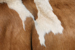 Fur of a Simmental cow in Switzerland Stock Images