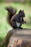 Fur squirrel close-up on stump, grass background Stock Photos