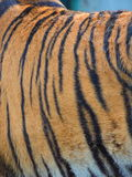 Fur. Striped tiger fur Royalty Free Stock Images