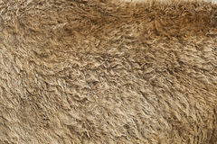 Fur texture old bison hair Stock Photography