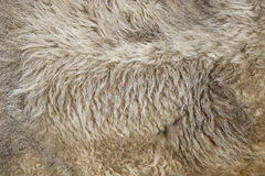 Fur texture old bison hair Royalty Free Stock Image