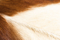 Fur textures. Abstract patterns in a closeup view of springbok animal fur Stock Photos