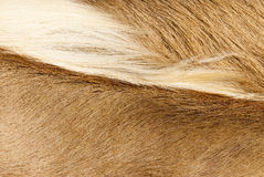 Fur textures. Abstract patterns in a closeup view of springbok animal fur Stock Photo
