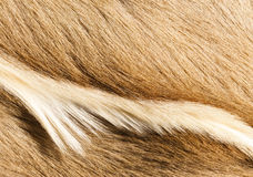 Fur textures. Abstract patterns in a closeup view of springbok animal fur Royalty Free Stock Photos