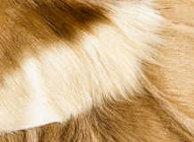 Fur textures. Abstract patterns in springbok animal fur Royalty Free Stock Photos