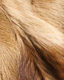 Fur textures. Abstract patterns in springbok animal fur Royalty Free Stock Images