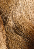 Fur textures. Abstract patterns in a closeup view of springbok animal fur Royalty Free Stock Image