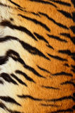 Fur of tiger Stock Photography