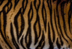 Fur of tiger. Striped fur of asian tiger Stock Photo
