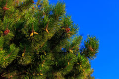 A fur-tree Royalty Free Stock Image
