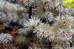 Fur-tree. The dense solar fur-tree Royalty Free Stock Photo