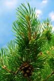 Fur-tree Stock Photography