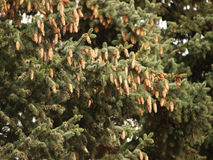 Fur-tree. Green fur-tree branch with cones Royalty Free Stock Image
