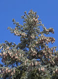 A fur-tree against the blue sky Royalty Free Stock Photo
