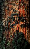 Fur-tree bark Royalty Free Stock Image