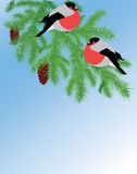 Fur-tree branch and bullfinches Royalty Free Stock Photo