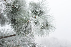 Fur-tree branch in the cold Royalty Free Stock Photography