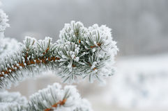 Fur-tree branch in the cold Stock Photo
