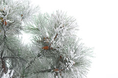 Fur-tree branch in the cold Stock Images