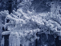 Fur-tree branch in fluffy snow Stock Photography
