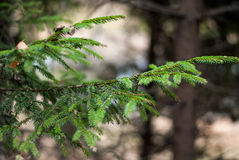 Fur-tree branch in the forest. Fir branch fir live in the autumn forest Royalty Free Stock Photos