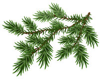 Fur-tree branch. Green fluffy pine branch Stock Photography