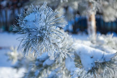 Fur-tree branch with ice Stock Photography