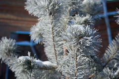 Fur-tree branch with ice Royalty Free Stock Photo