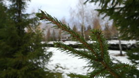 Fur-tree branch on snow background. Snowy cloudy Day on the eve of Christmas stock video footage