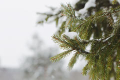 Fur-tree branch with snow flying under the snowflakes. Stock Photography