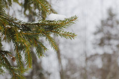 Fur-tree branch with snow flying under the snowflakes. Stock Images
