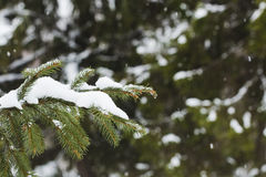 Fur-tree branch with snow flying under the snowflakes. Royalty Free Stock Photos