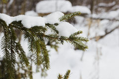 Fur-tree branch with snow flying under the snowflakes. Royalty Free Stock Image