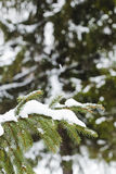 Fur-tree branch with snow flying under the snowflakes. Stock Photos