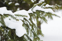 Fur-tree branch with snow flying under the snowflakes. Royalty Free Stock Photography