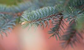 Fur-tree closeup Royalty Free Stock Image