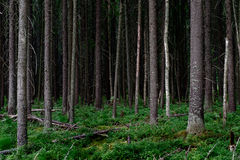 Fur-tree pine forest Stock Photos