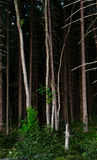 Fur-tree pine forest Royalty Free Stock Photo