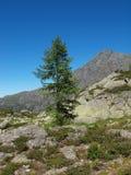The fur-tree sentinel Katun of a ridge Stock Image