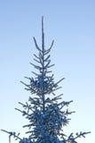 Fur-tree with snow Royalty Free Stock Photo
