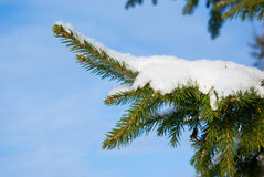 Fur-tree snow-covered branch Stock Image