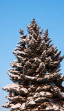 Fur-tree under snow Royalty Free Stock Photos
