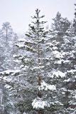 Fur-tree in winter forest Stock Photography